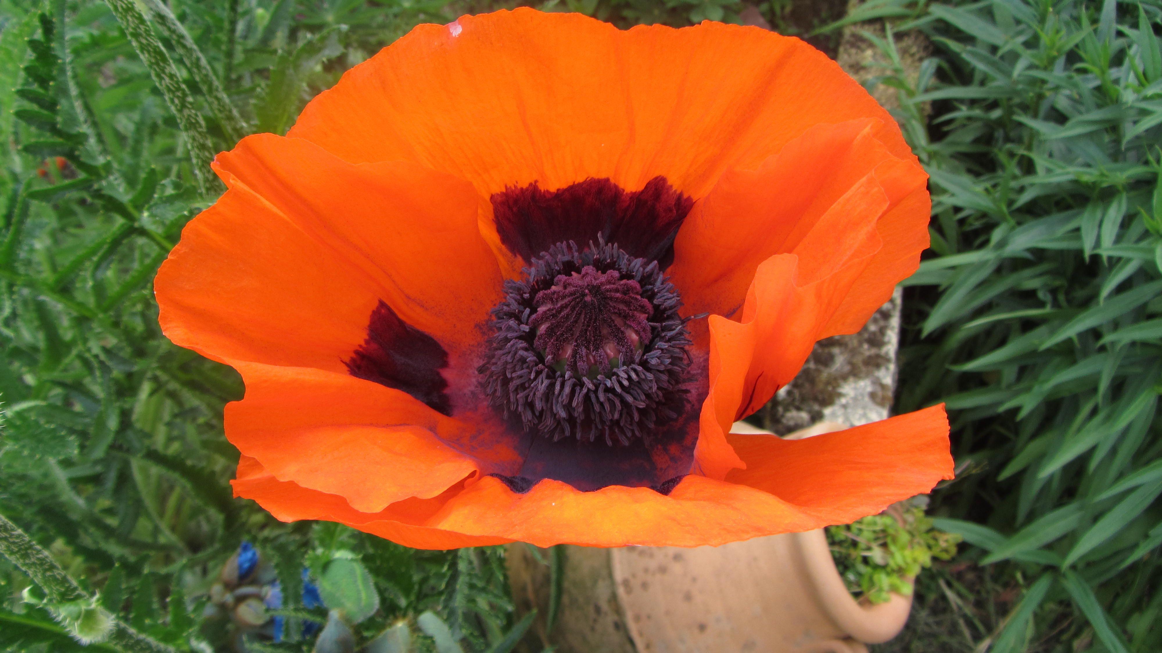 Poppy, Peebles , Scottish Borders.