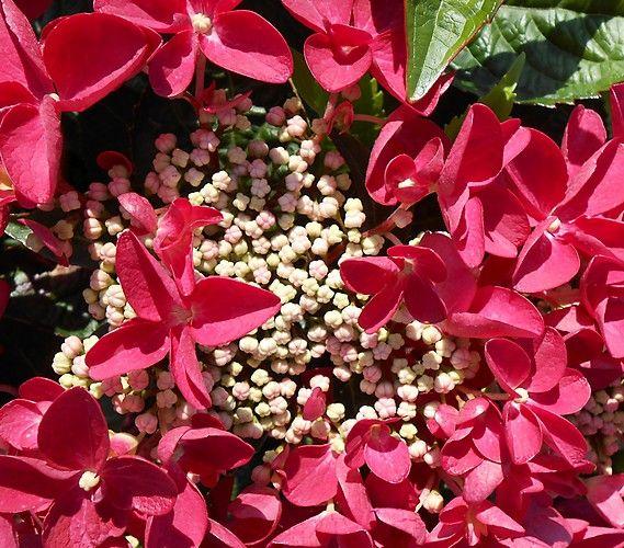 dehner premium bauern hortensie 39 lady in red 39 dehner garten center blumen pinterest. Black Bedroom Furniture Sets. Home Design Ideas
