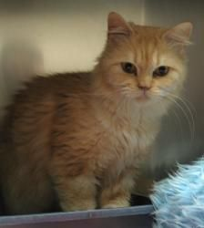 Adopt Rejoice On Petfinder Munchkin Cat Cats Kittens