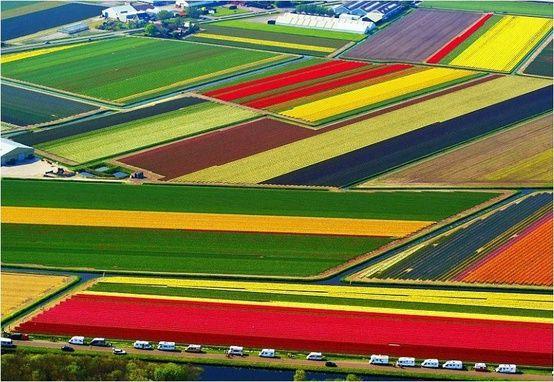 Tulipes du Pays Bas