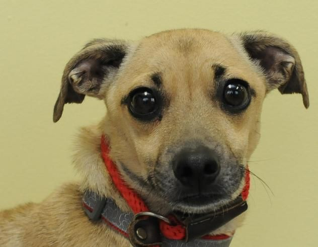 Adopt Doug 3 16 15 On Pug Mix Italian Greyhound Pugs