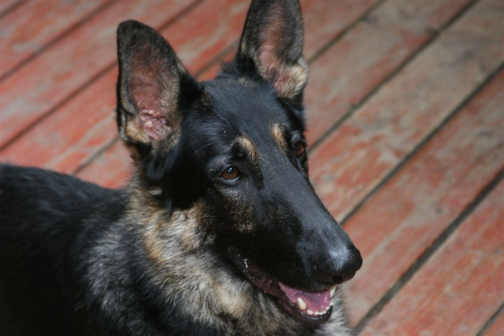 German Shepherd Puppies Will Try To Experiment Different Things In