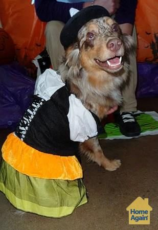 Lady The Witch Australian Shepherd Dog Halloween Costume Dog