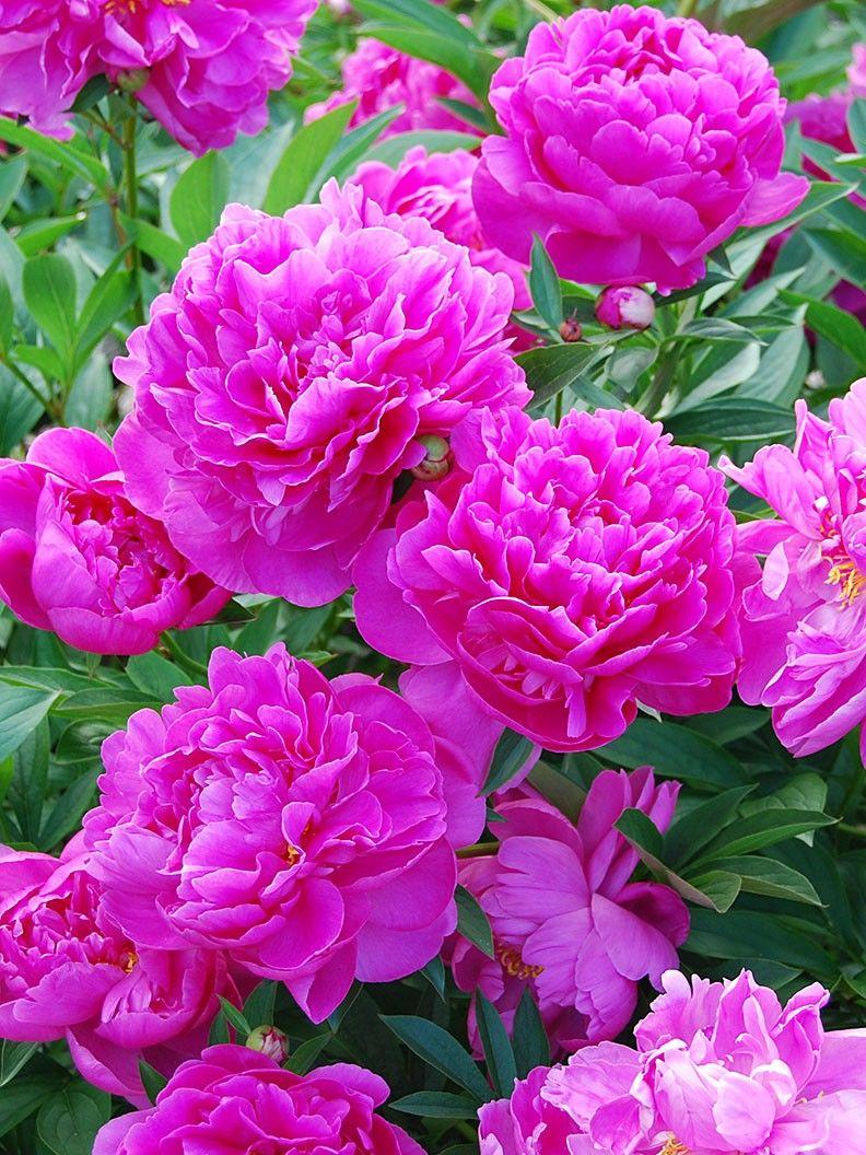 Picture of Live Peony (mauve pink) aka Paeonia 'Edulis Superba' Plant Fit 1 Gallon Pot