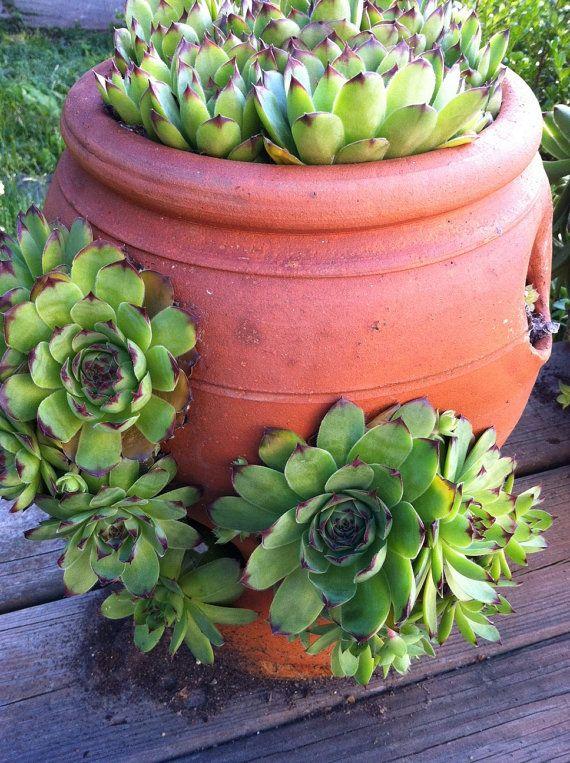 Huislook Sempervivum Hens And Chicks Succulents Pretty Plants