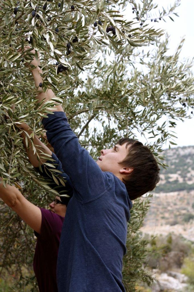 Jordan Tour - Olive Harvest Experience.