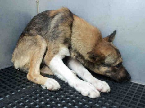 Scared puppy at San Antonio Animal Services; PLEASE HELP  My name is AUSTIN(R). ID#A203580    I am a male, brown and tricolor German Shepherd Dog mix.    I am located in kennel S1036.    The shelter staff think I am about 1 year old.
