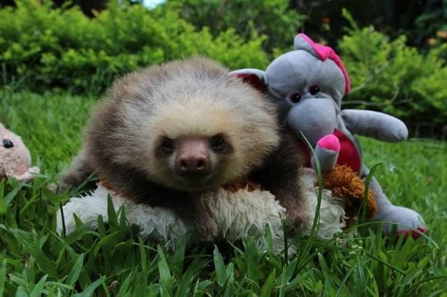 Baby Sloths Hugging Their Teddy Bears Are The Cutest Thing You Will See Today #babysloth Baby Sloths Hugging Their Teddy Bears Are The Cutest Thing You Will See Today #babysloth Baby Sloths Hugging Their Teddy Bears Are The Cutest Thing You Will See Today #babysloth Baby Sloths Hugging Their Teddy Bears Are The Cutest Thing You Will See Today #babysloth Baby Sloths Hugging Their Teddy Bears Are The Cutest Thing You Will See Today #babysloth Baby Sloths Hugging Their Teddy Bears Are The Cutest Th #babysloth