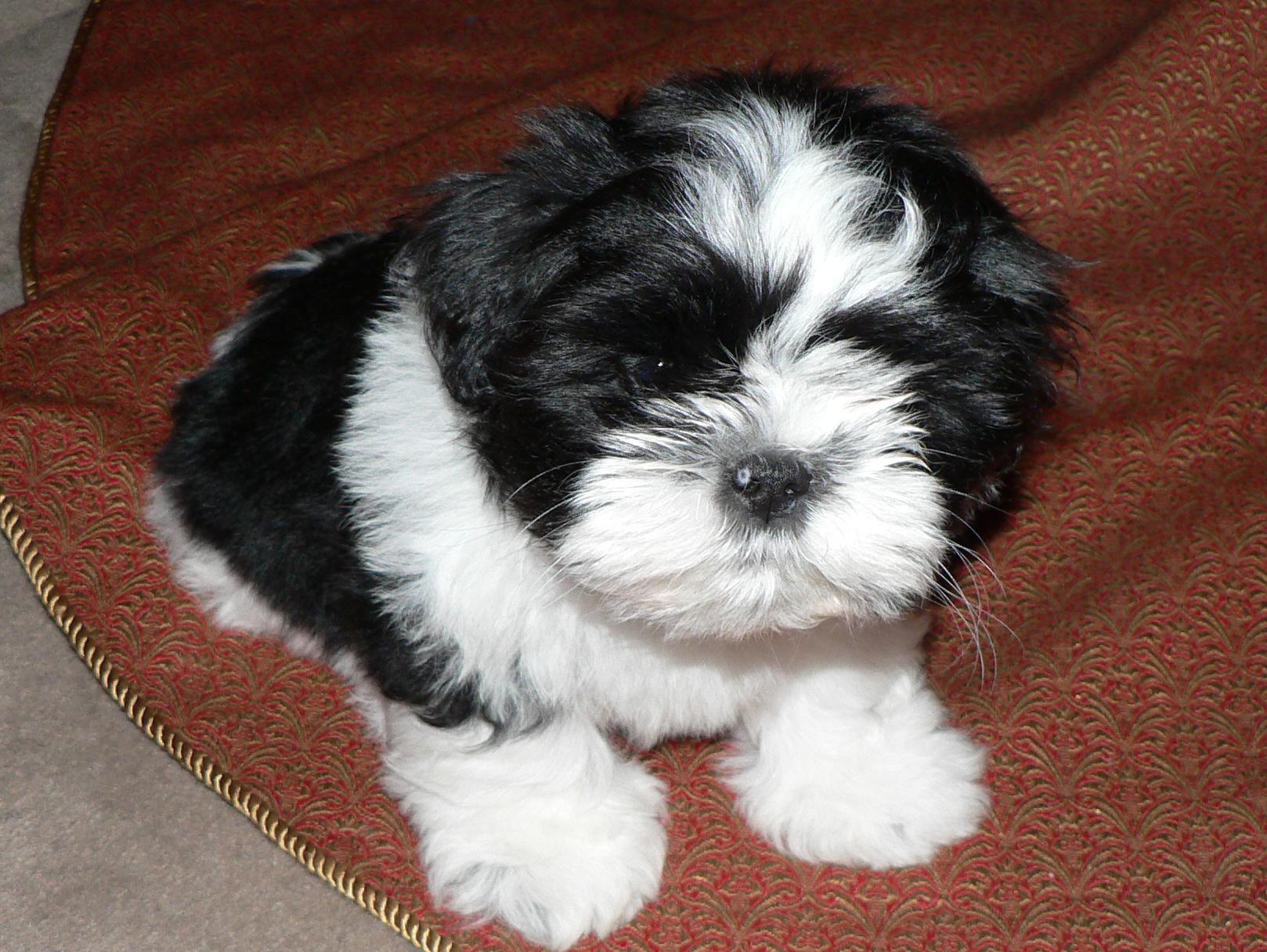 Shih Tzu Information Dog Breeds At Thepetowners Shih Tzu Shih Tzu Puppy Dogs