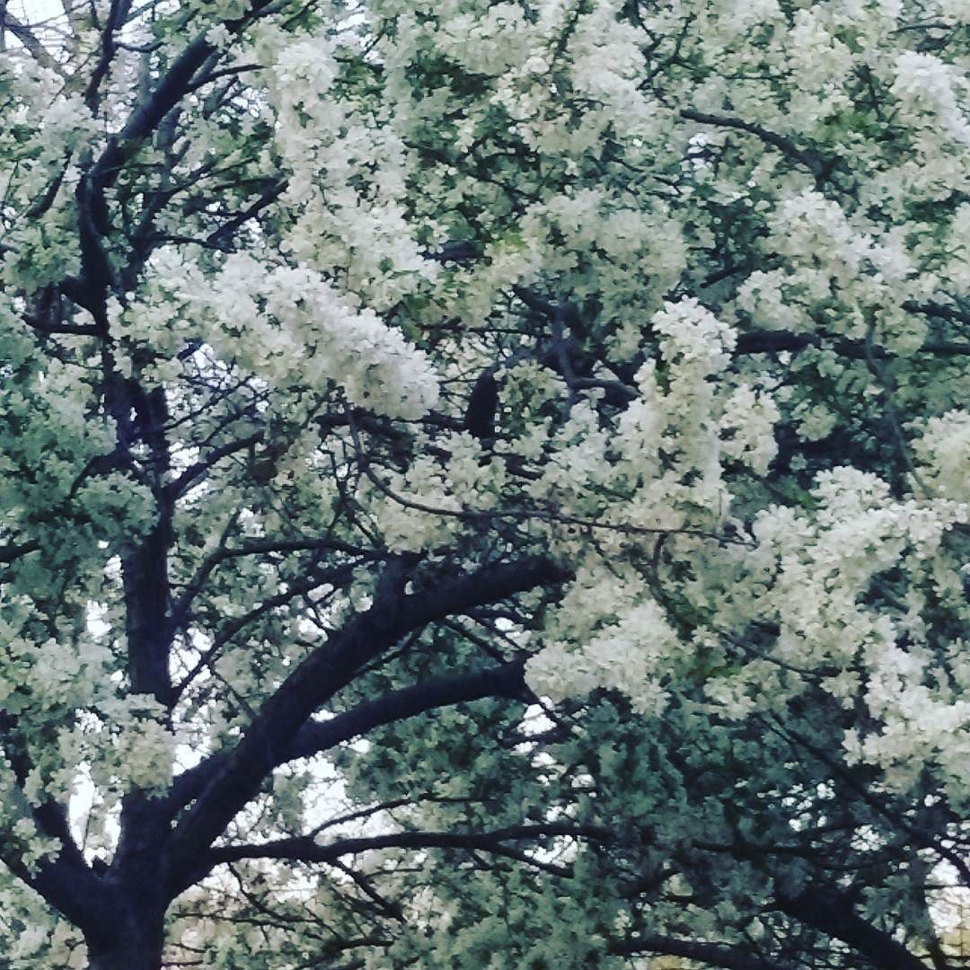 The #beautiful #colors of #Spring are  #blossoming in #newyorkcity #Brooklyn these  beautiful trees look so amazing  #braziliadavimoda #springtime #flowers by braziliamoda