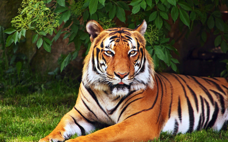 Tiger Wallpaper Id 436232 Wallapper Abyss Tiger Wallpaper Sumatran Tiger Tiger Images