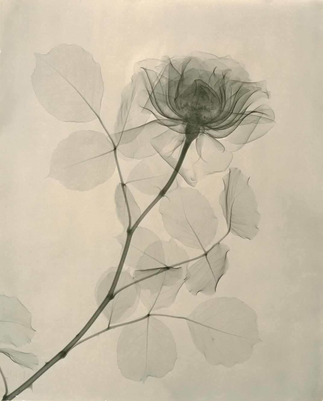 Check Out These X Rays Of Flowers From The 1930s Beautyinspire