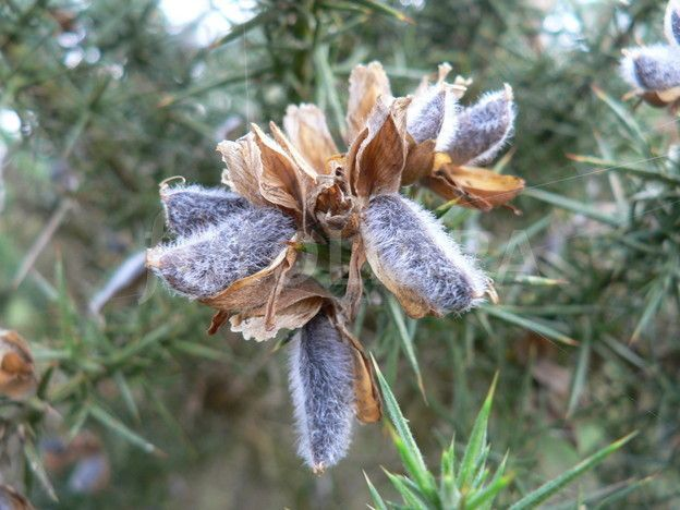 Gorse Seed Pod Seed Pods Plant Classification Seeds