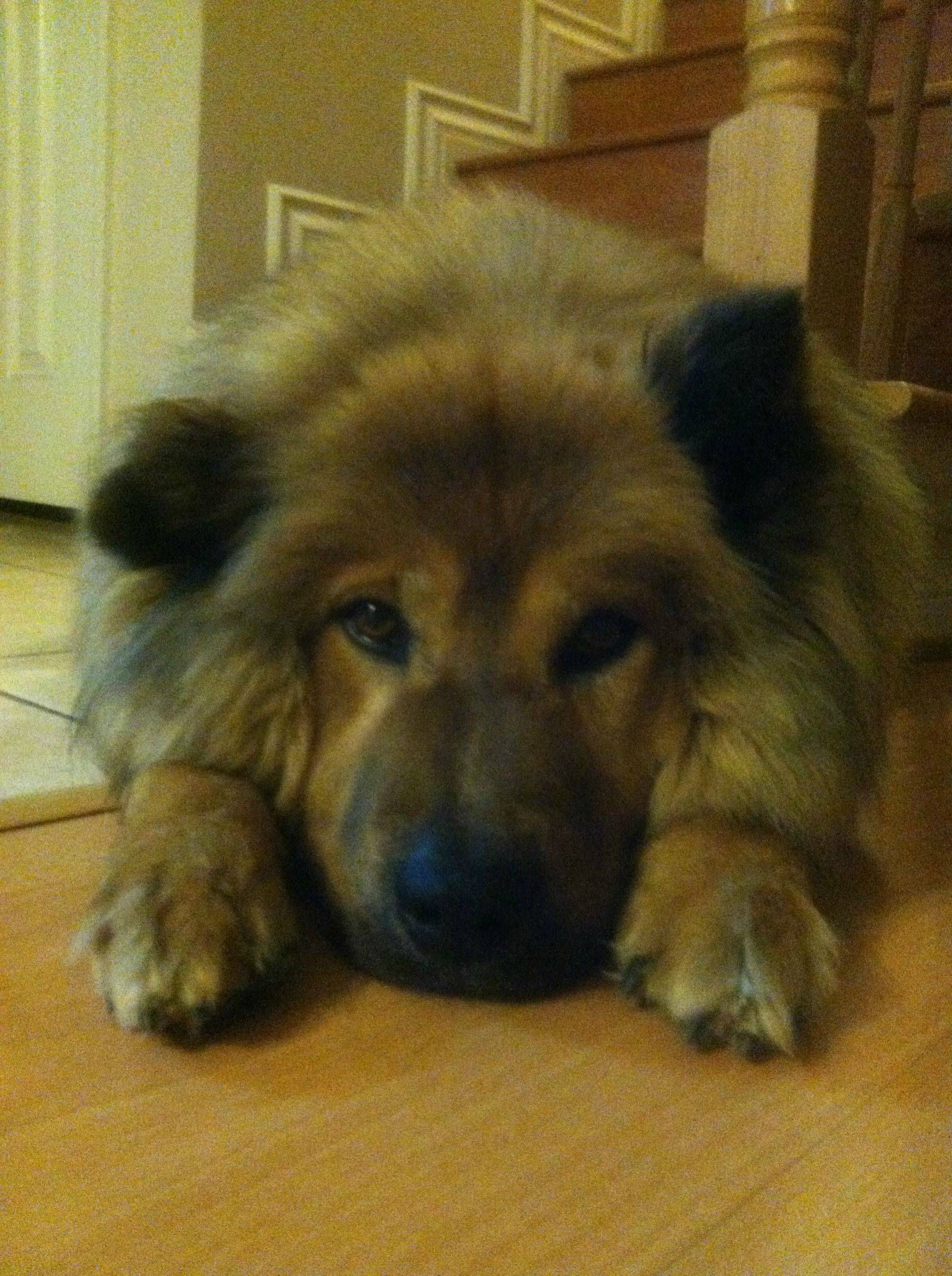 Chow Chow German Shepherd Mix Check Out On Pet Dogs Advices By