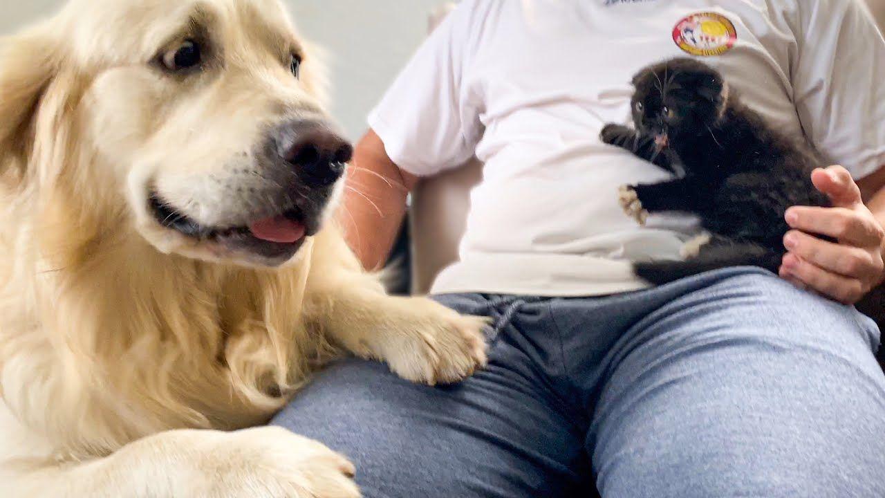 Golden Retriever Meets New Baby Kitten For The First Time Youtube In 2020 Golden Retriever Baby Kittens Retriever