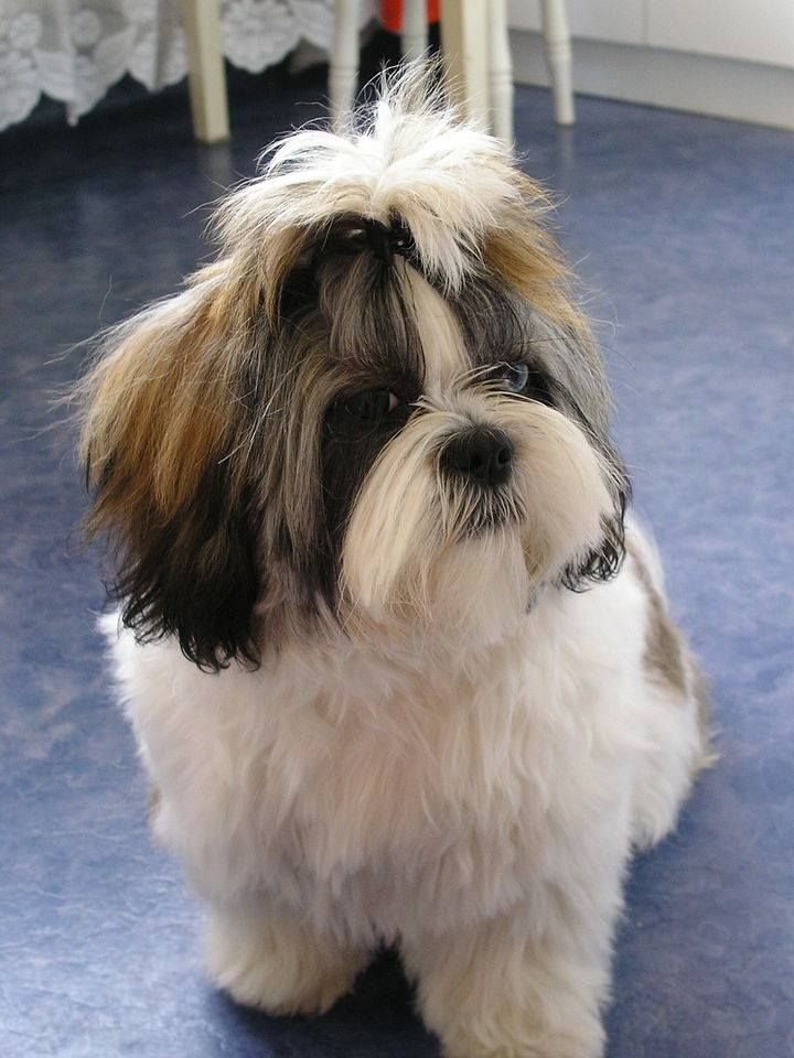 Shih Tzus Animal Breed A Shih Tzu Is A Toy Dog Breed Weighing With