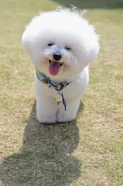 Image result for 犬  bichon 美しい