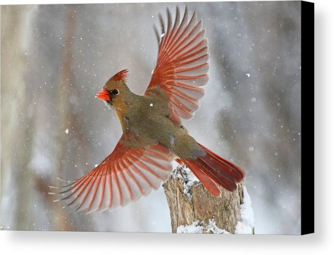 Snow Storm Canvas Print Canvas Art By Mircea Costina In 2021 Trademark Fine Art Global Gallery Beautiful Birds