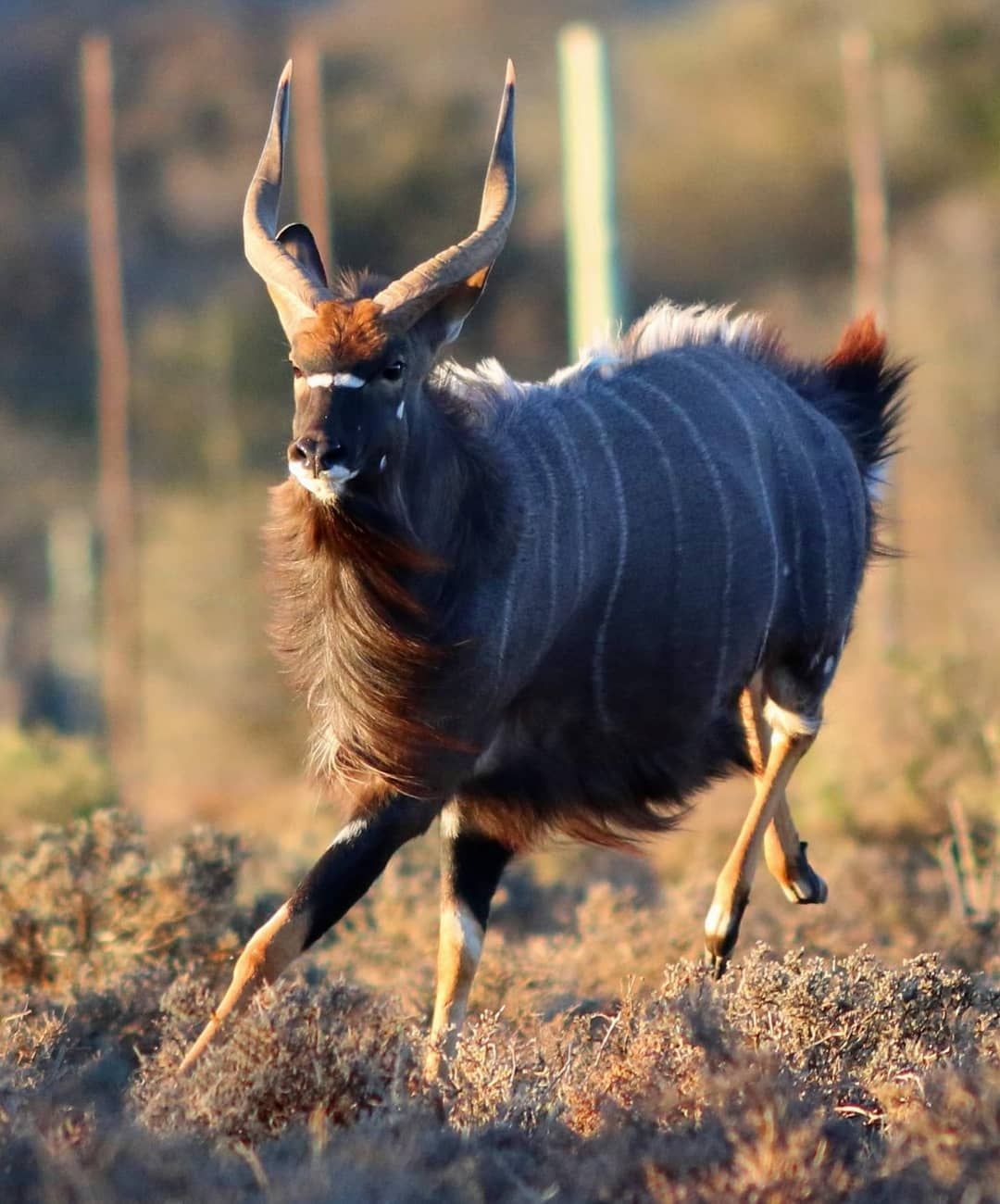 Nyala Running On Instagram South Africa Wildlife African Wildlife Nature Animals
