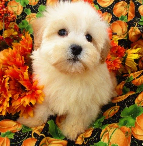 Maltipoo Puppy Dog For Sale In Grand Rapids Michigan Maltipoo