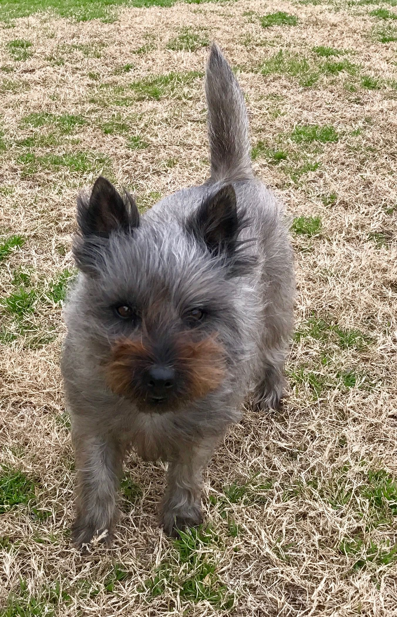 Lovely Trudy Cain Terrier Cairn Terrier Terrier Puppies