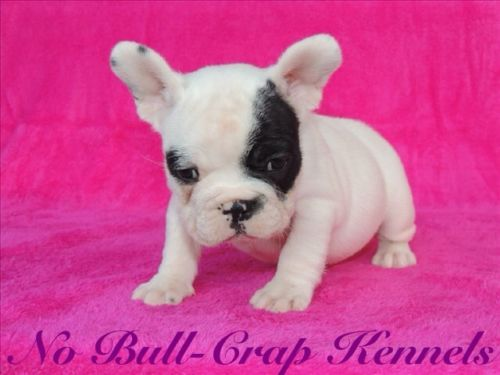 French Bulldog Puppies Chocolate Carriers French Bulldog Puppies