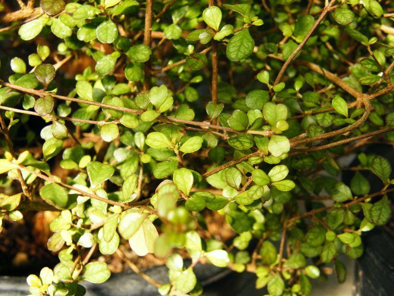 Lophomyrtus obcordata - Mai 2013