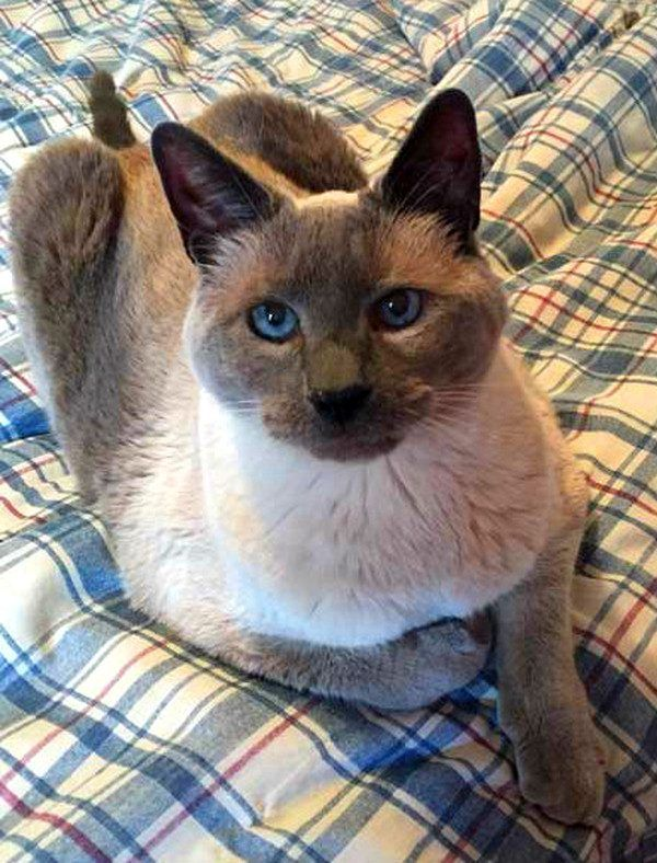 How Holistic Treatments Help Cats With Asthma And Allergies Cats And Kittens Cat Character Siamese Cats