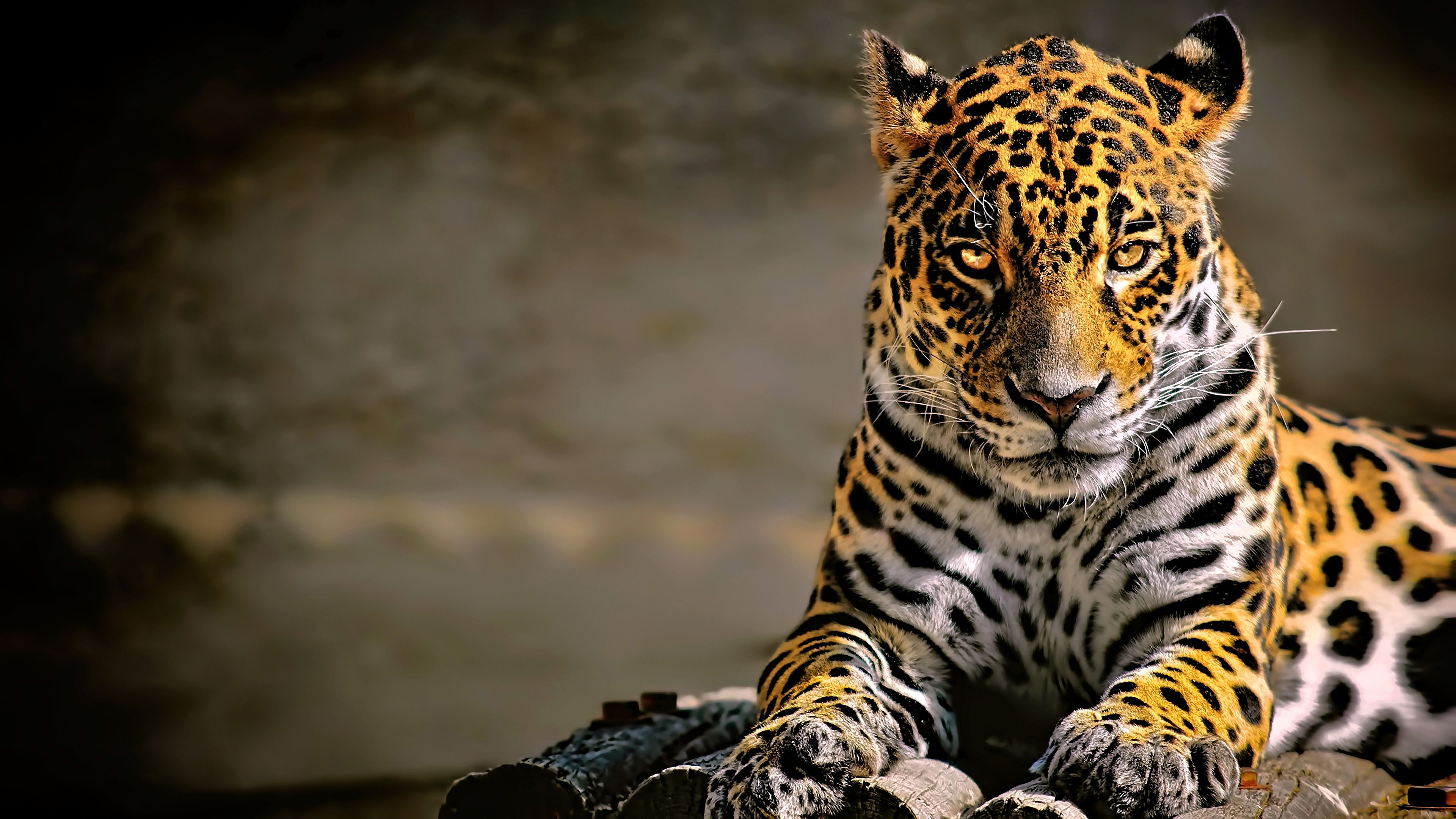 Leopard 4k Glowing Eyes Leopard Wallpapers Hd Wallpapers Animals Wallpapers 4k Wallpapers Jaguar Animal Jaguar Wallpaper Animal Wallpaper