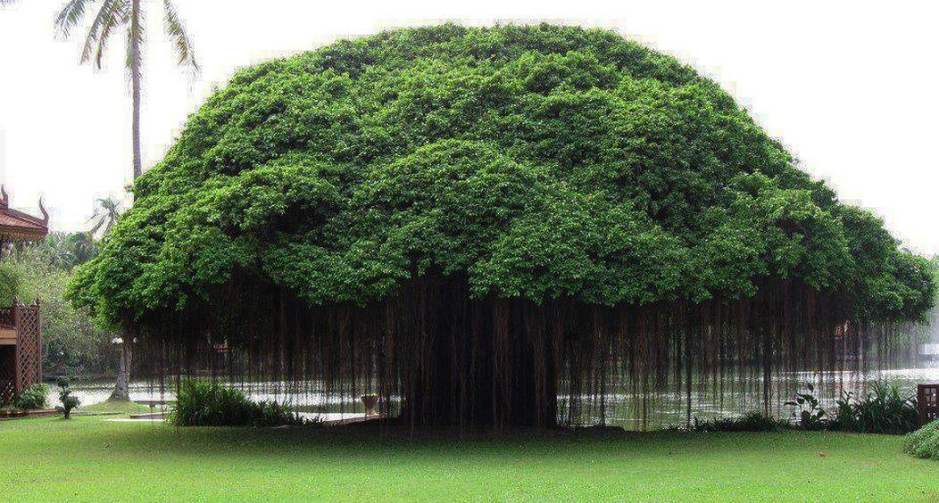 10 árboles Que Parecen Pertenecer A Otro Mundo Arbol Frondoso Arboles Arboles De Colores