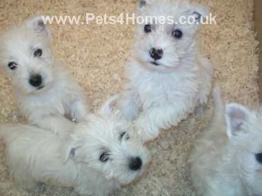 West Highland Terrier Puppies I Would Have Them All West Highland Terrier Puppy Westie Puppies West Highland Terrier