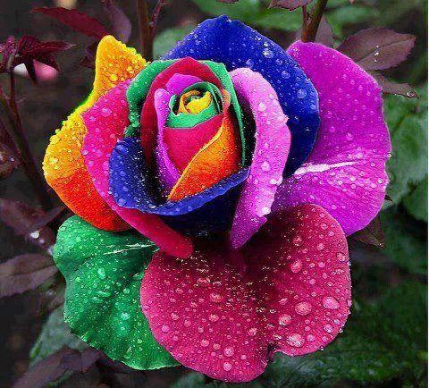 Another Beautiful Picture Of Rainbow Rose Colors Shapes Natural Natural Elements Natural Fibers Flores Exoticas Rosas Lindas Cores De Flores