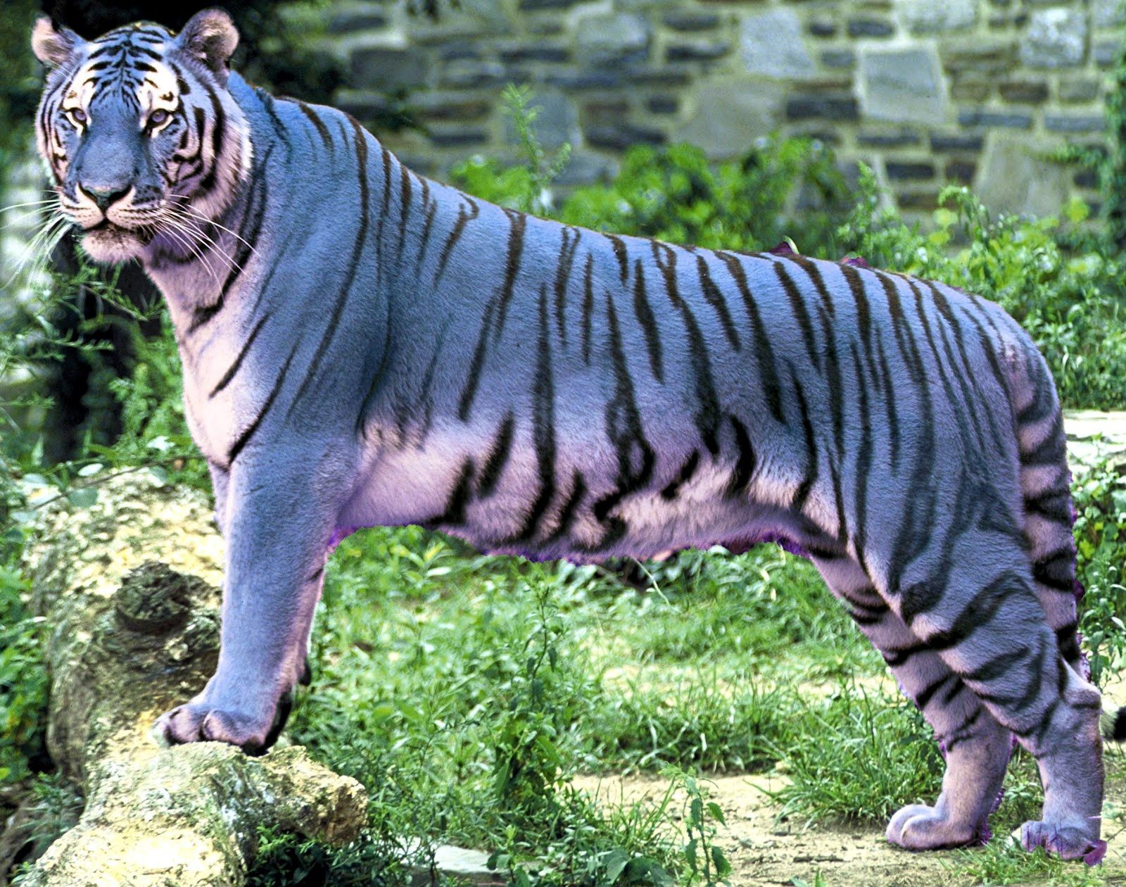 Maltese Tiger on Pinterest | Blue Tigers, Maltese and China