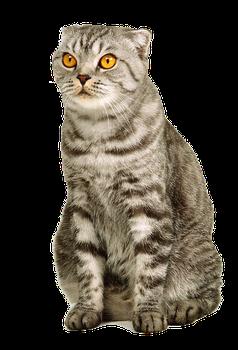 Png Cat By Eross 666 Cat Scottish Fold Cat Breeds Cat Sitting