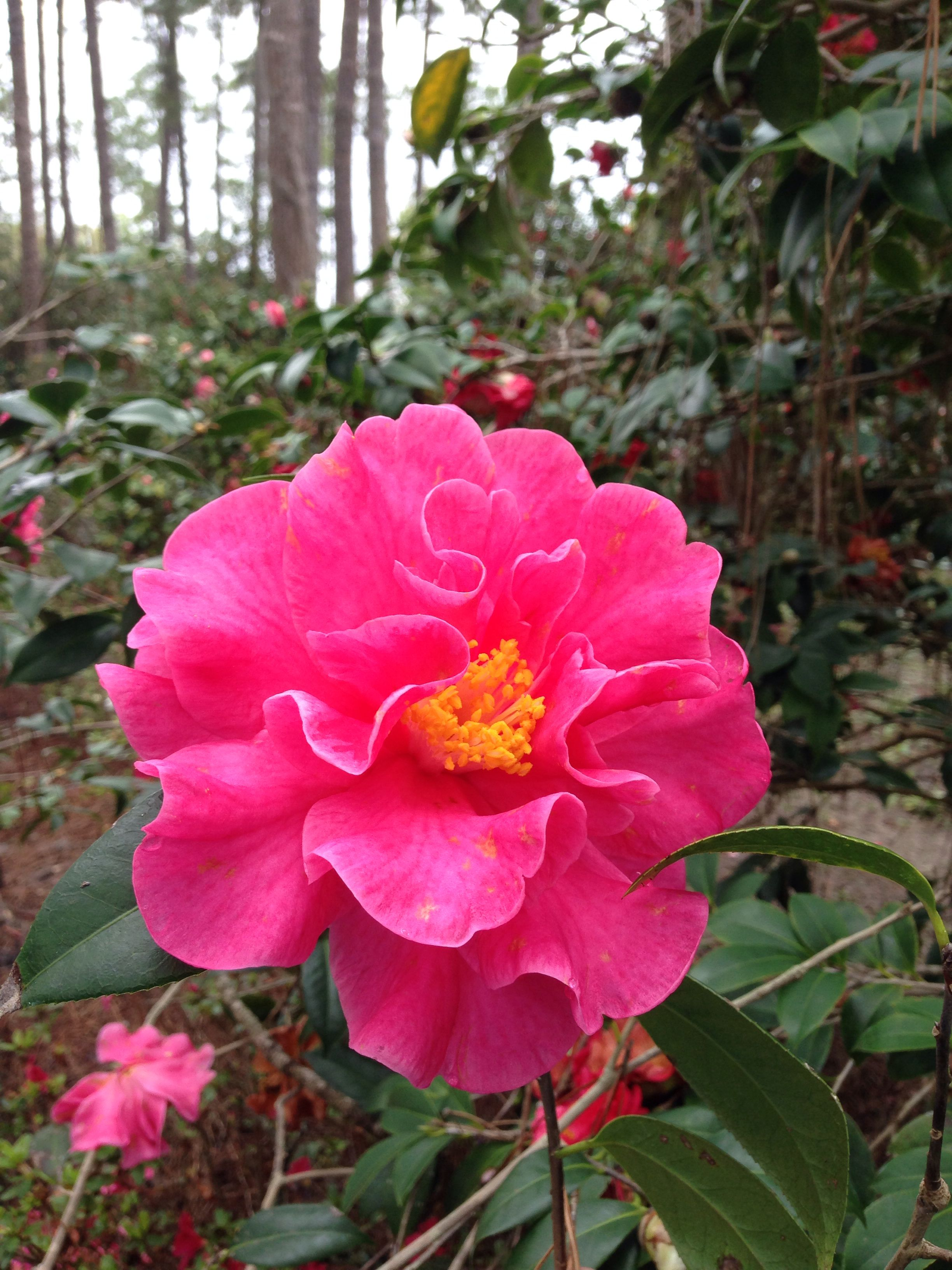 Camellia Frank Houser Bob Wines Camellia Gardens Ocala Fl Garden Projects Camellia Flowers