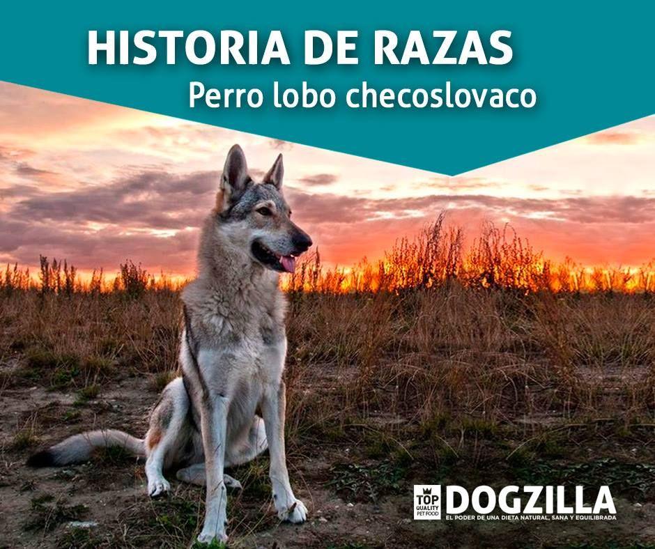 Historia de Razas: Perro lobo checoslovaco. Fue reconocido en ...