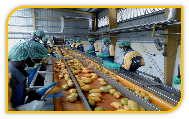 FRUIT SORTING/TIP CUTTING CONVEYOR | Production & Processing