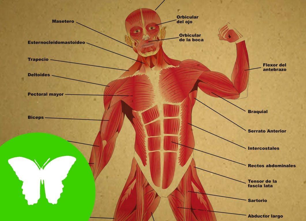 La Eduteca - Los músculos | colegio | Pinterest | El musculo ...