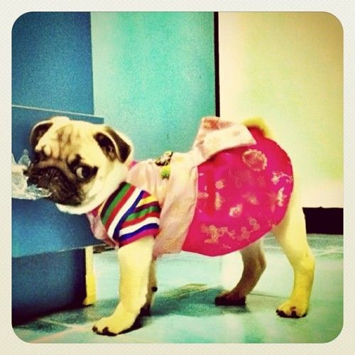 Is This Adorable Pug Puppy Wearing A Hanbok Perfect Pug Love