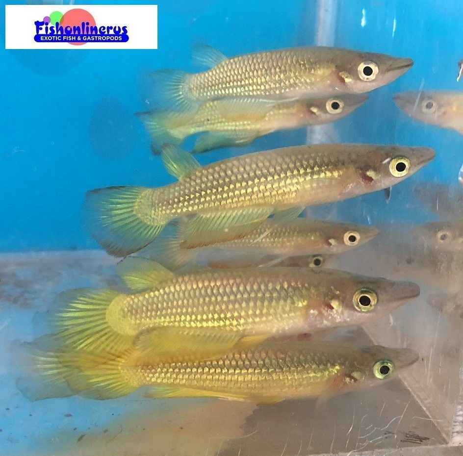 Golden Wonder Killifish Freshwater Fish The Golden Wonder Killifish Is Captive Bred But Is Normally Found In Freshwater A Tropical Fish Store Fish Cichlids