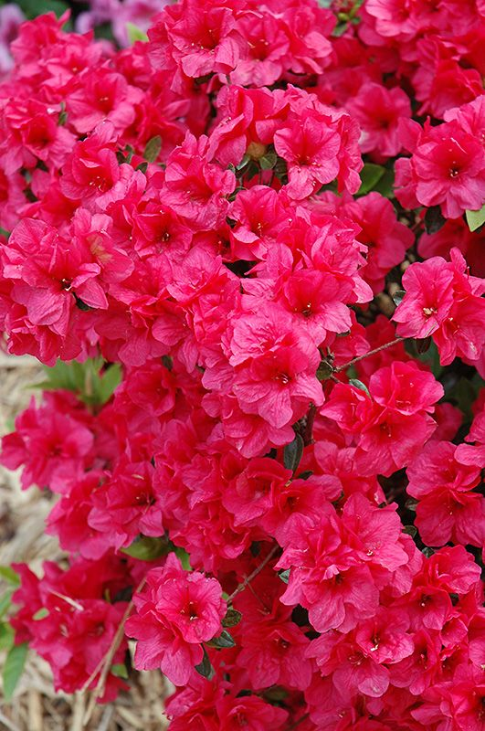 Hershey S Red Azalea Rhododendron Hershey S Red At Oakland Nurseries Inc Evergreen Shrubs Azalea Flower Planting Shrubs