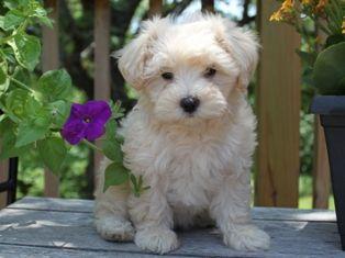 Maltipoo Puppies For Sale Bay Area Craigslist