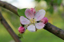 Ausflugstipp: Ockstädter Kirschenberg: Apfelblüte