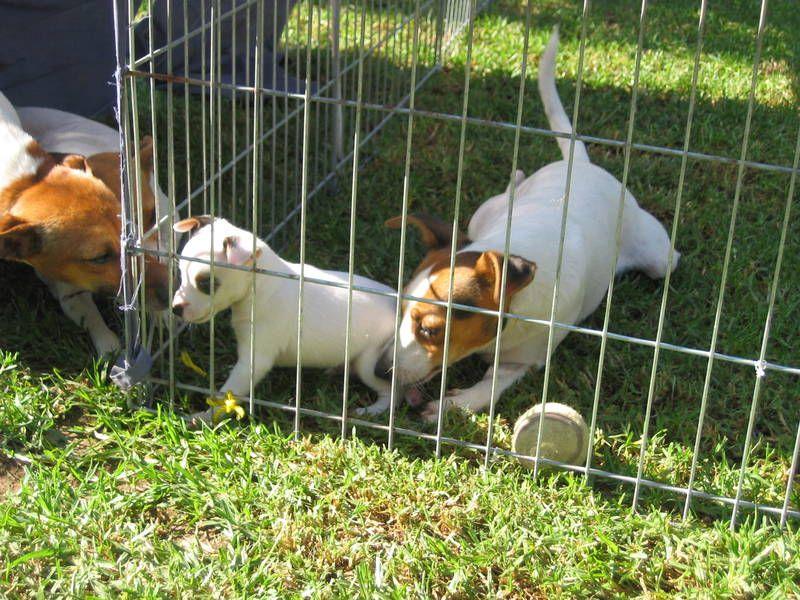 Tenterfield Terrier Puppy Dogs, puppies, Terrier, Puppies