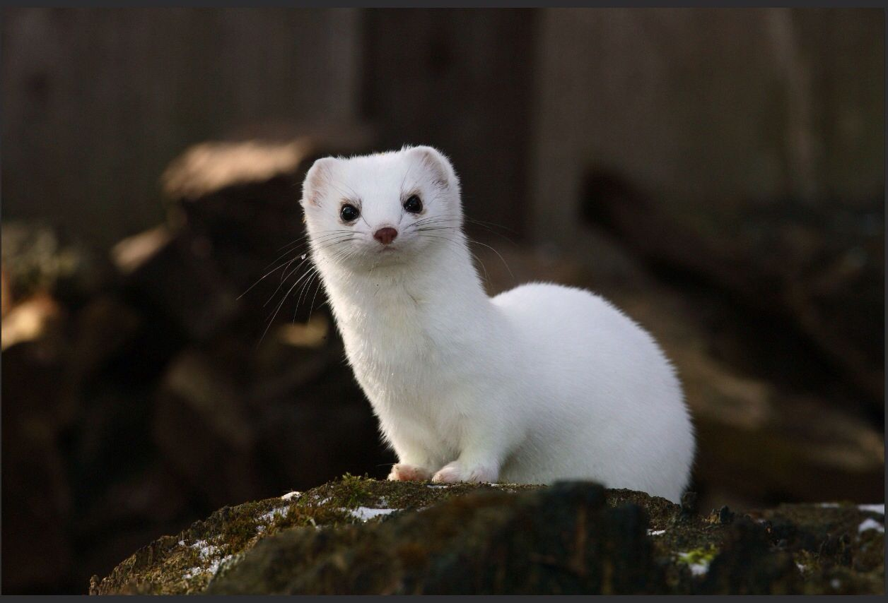 ermine toque definition Also find ermine definition and the opposite of ermine with examples and sentence (n) the fur of the ermine, as prepared for ornamenting garments of royalty, etc, by having the tips of the tails.
