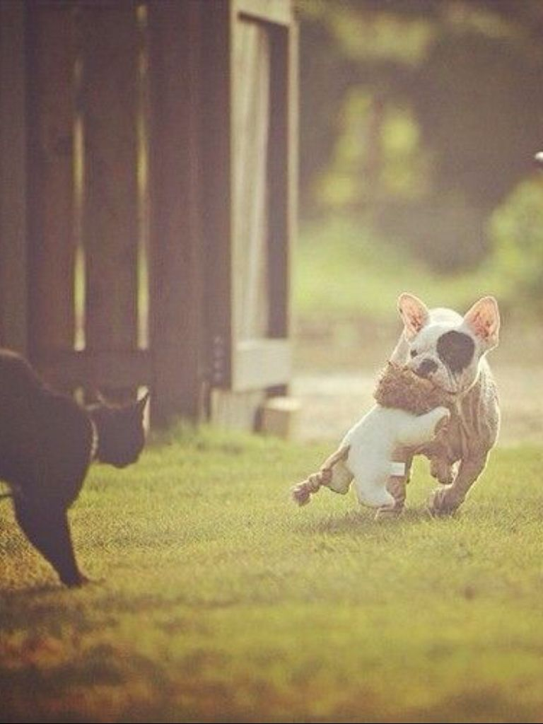 'Super French Bulldog', saving his Favorite Toy from the neighbors 'Savage' Black Cat.