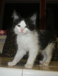 Zimmerman Rcr Post Is An Adoptable Domestic Medium Hair Black And White Cat In Plano Tx Zimmerman Is Black And White Kittens Cute Animals Cats And Kittens