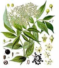 the elder plant - description & uses