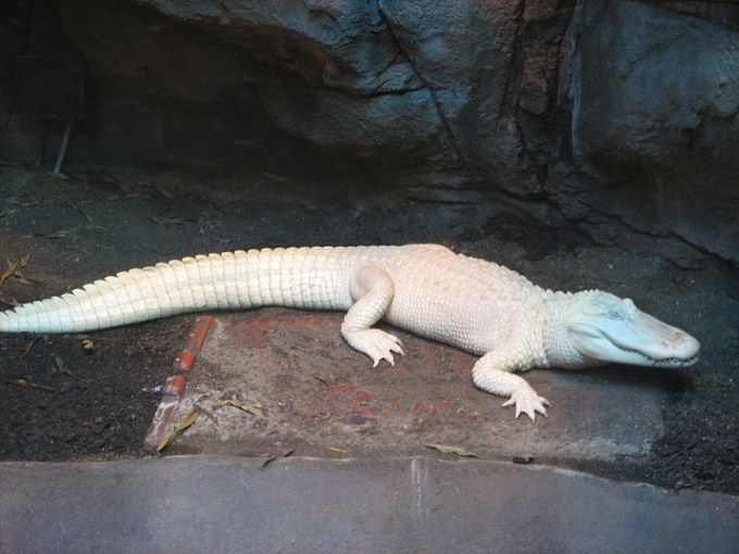 Albino Alligator Pictures Photos Images Of Animals Science For Kids Animal Science Animals Animals Images