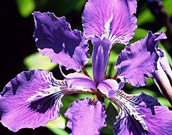 Japanese Roof Iris Chicago Botanic Garden Plant Finder Plants